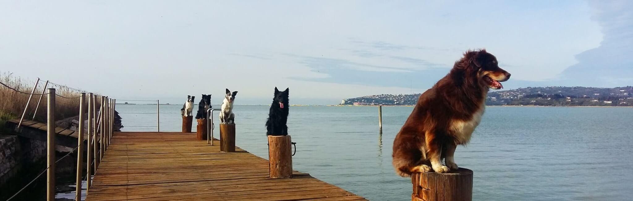 Vzgojeni psi na pomolu