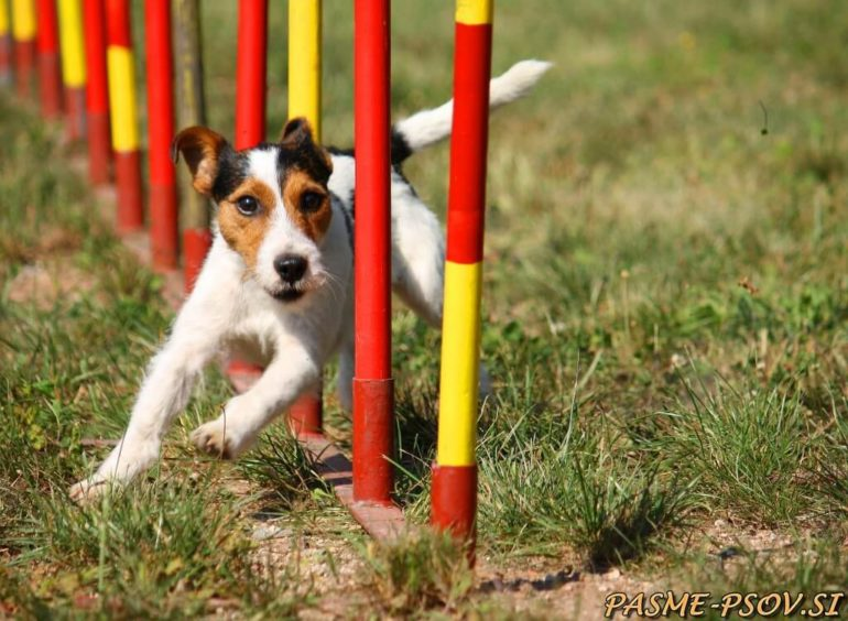 pasji šport agility